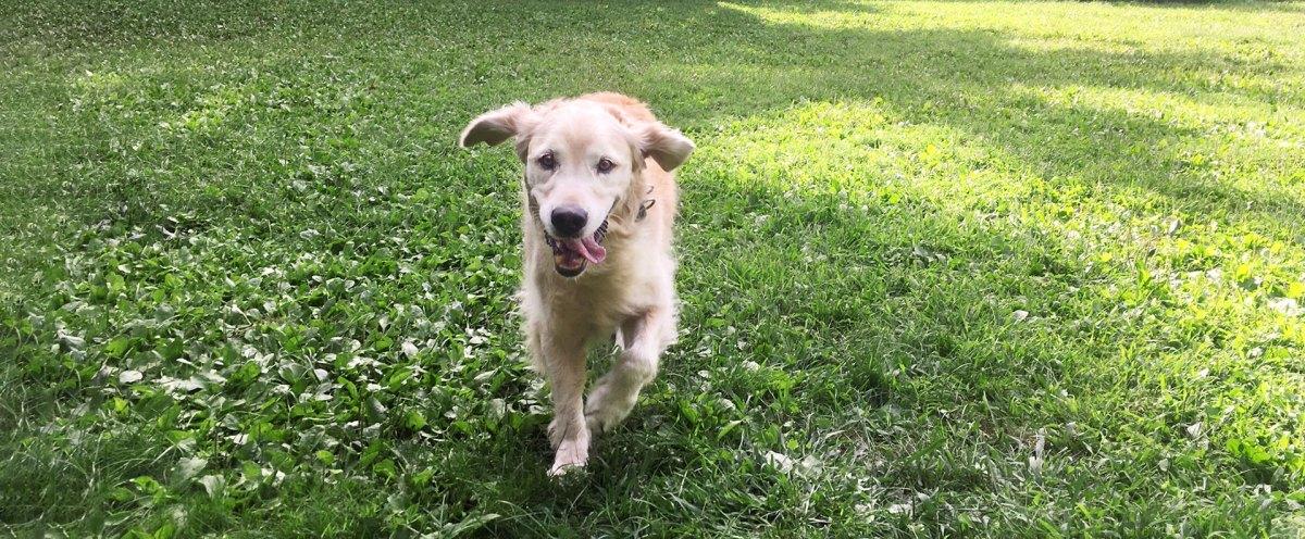 Golden Retriever running in the grass