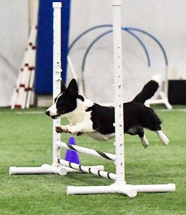 Cardigan Welsh Corgi leaping over an agility jump