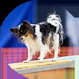 Papillon dog on an agility teeter