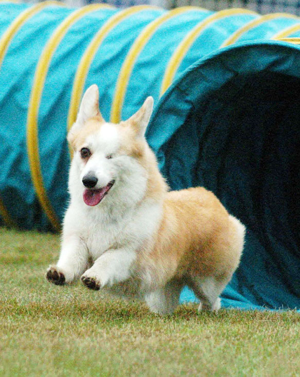 Corgi having fun running through an agility tunnel