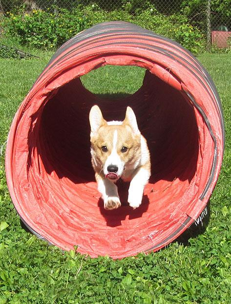 Corgi puppy racing through an agility tunnel