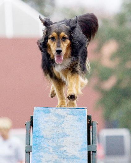 Mixed breed dog running across the dogwalk