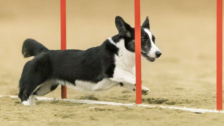 Zora the corgi running though agility weave poles