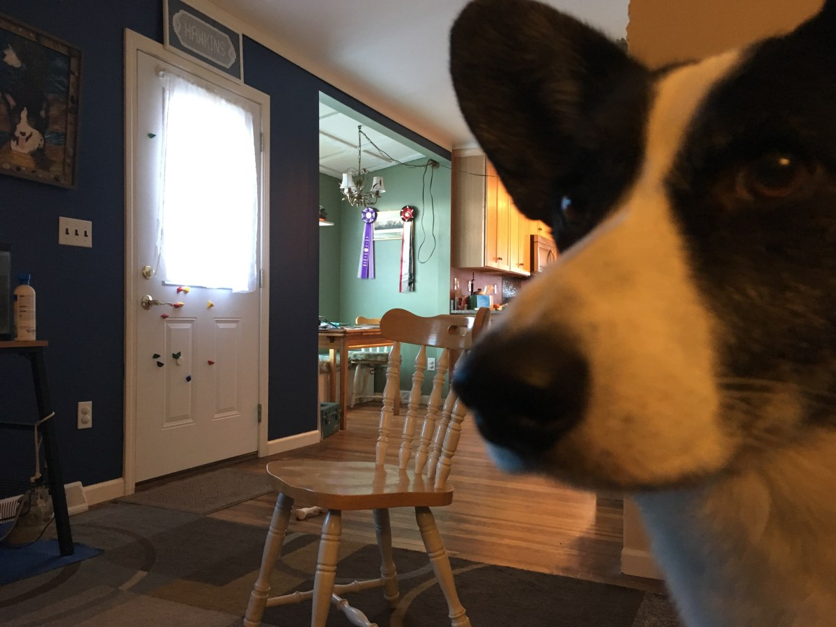 Kitchen chair in center of a room with blue rug, black and white dog face close up on side of image