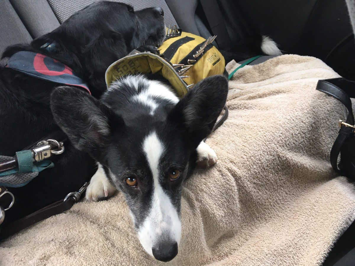 black and white corgi in yellow vest lies on car seat, black lab cross in guide dog harness lies with his head resting on the corgi