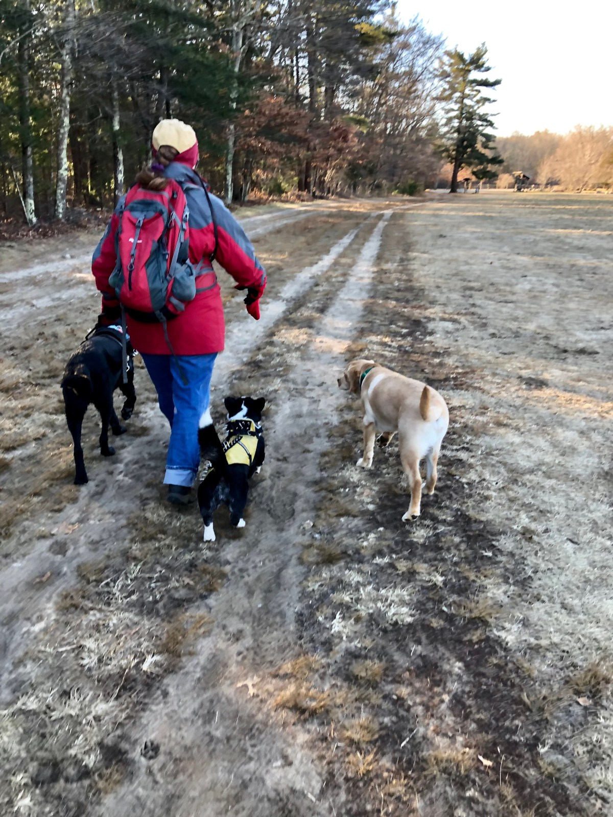 Black lab guide dog leads handler in red coat down a wood path with corgi and yellow lab walking off leash beside them