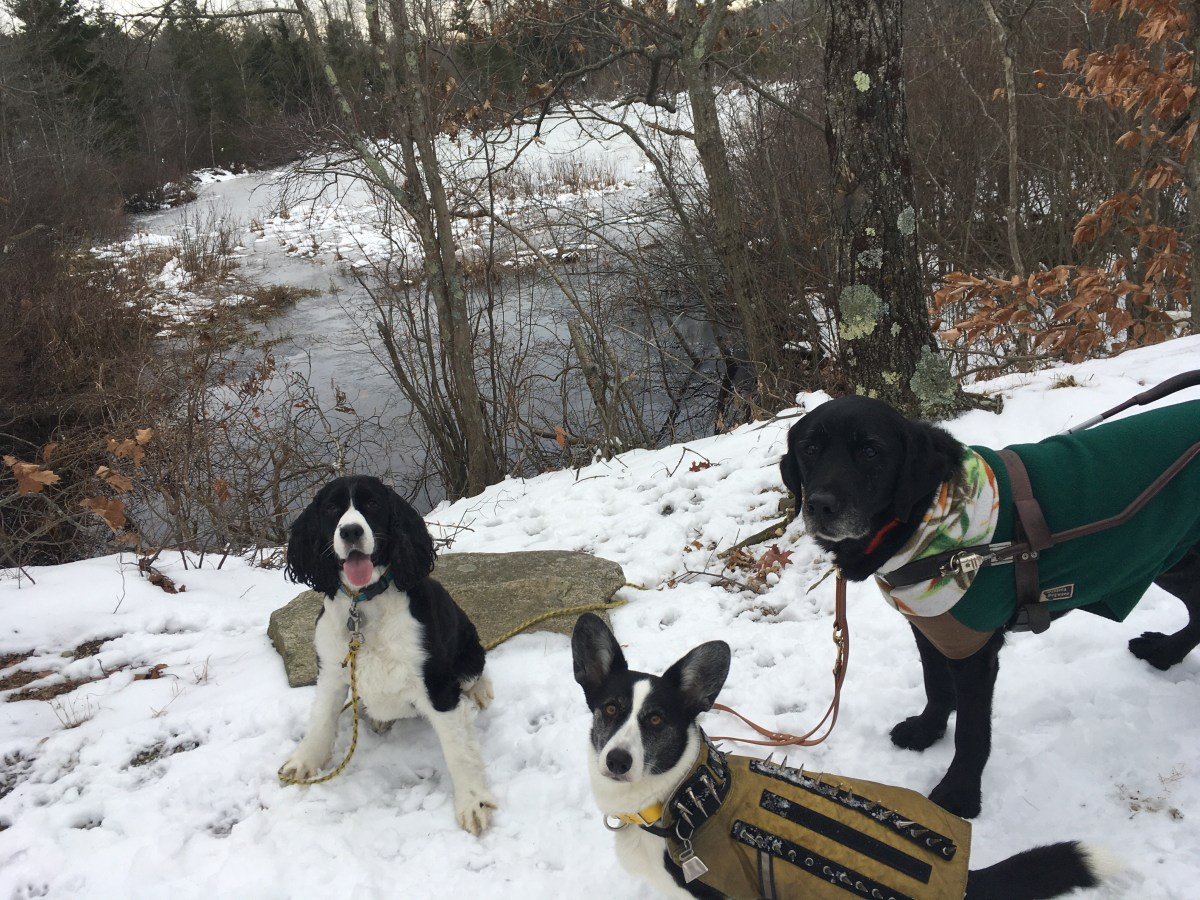 a spaniel, a corgi and a retriever in the snowy woods