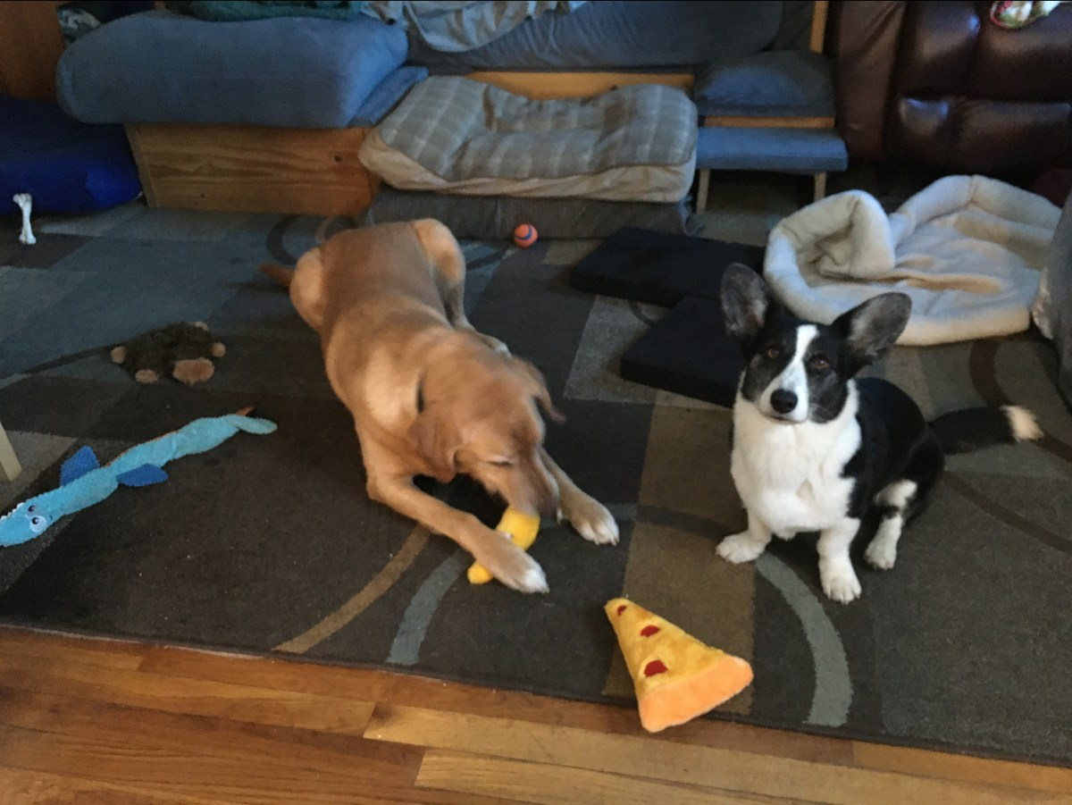 yellow lab chews a stuffed carrot, corgi sits in front of a stuffed pizza slice toy, other toys surround them