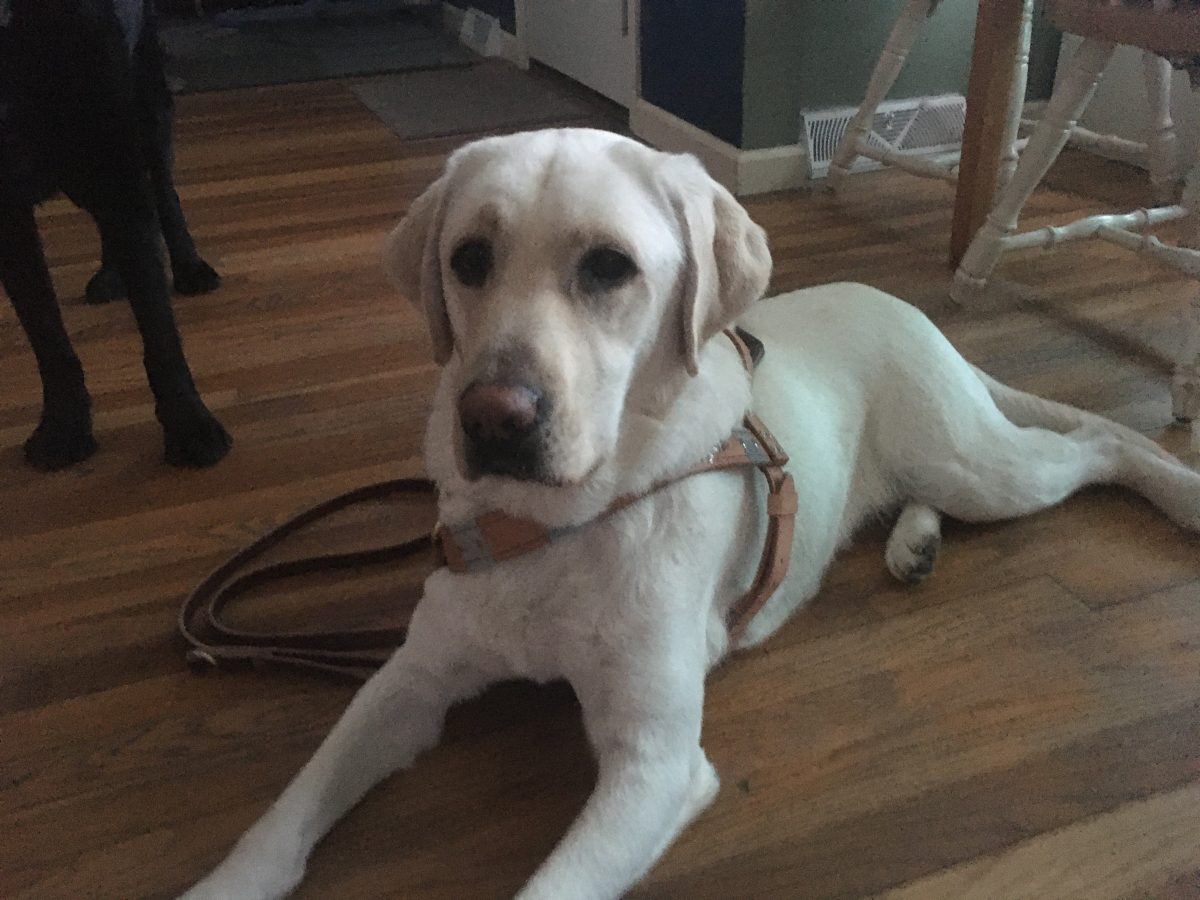 yellow lab in guide dog harness lying on a hardwood floor