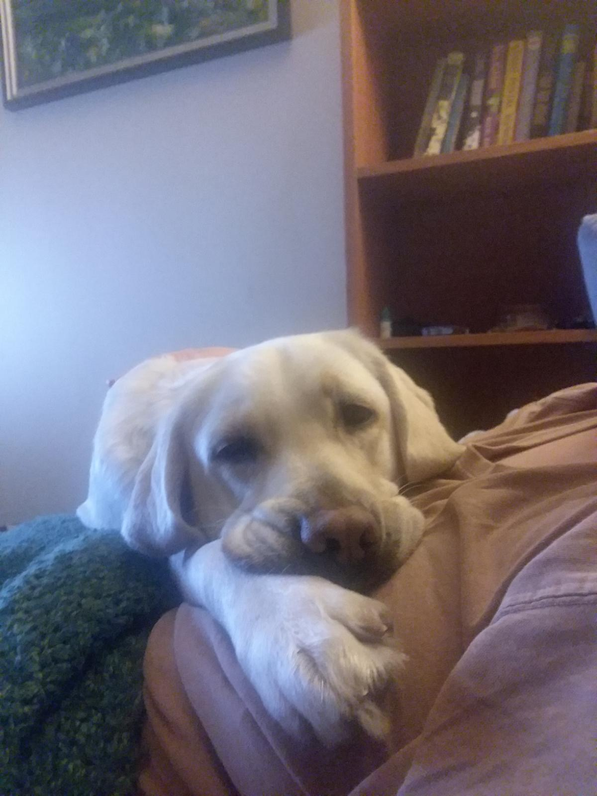 yellow Labrador Breezie snuggles on my lap