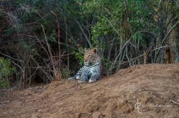 The elusive leopard!