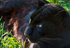 panthera color