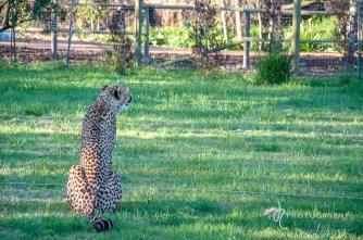 cheetah ashia