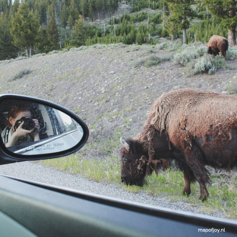 Bison on the road, Yellowstone, USA - Map of Joy