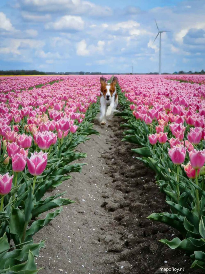 Tulpenfestival, Flevoland, Holland, kooikerhondje - Map of Joy