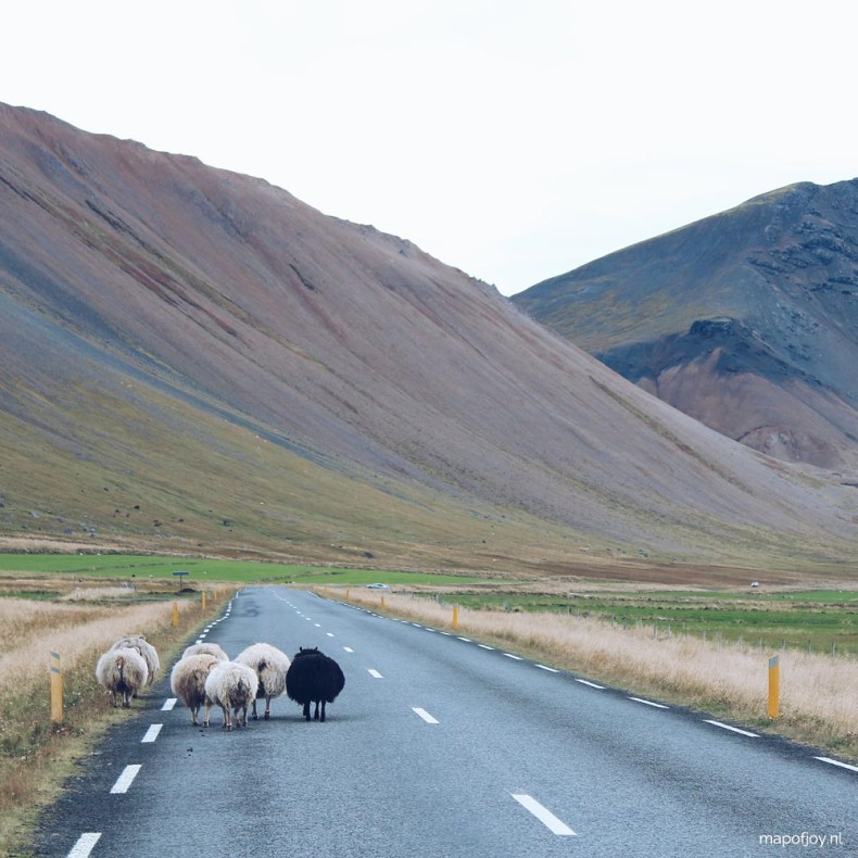 Sheep on the road, Snaefellsnes, Iceland, road trip - Map of Joy