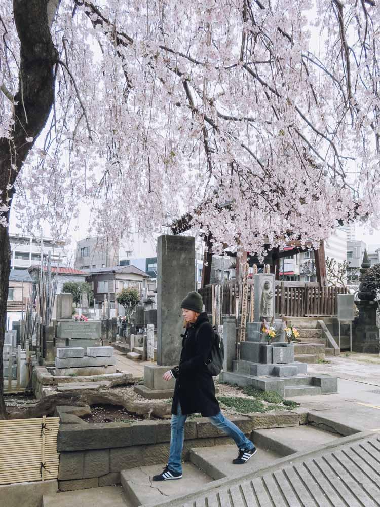 Aoyama begraafplaats, beste plek om kersenbloesems te zien in Tokio - Map of Joy