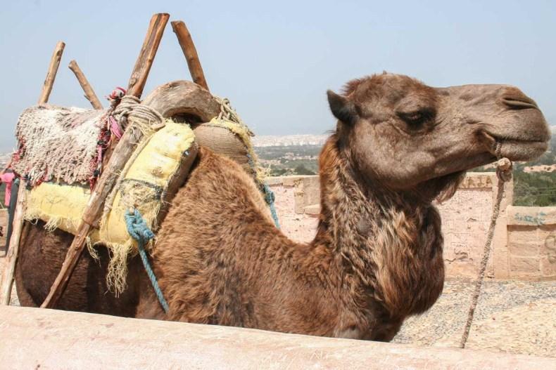 Kamelenrit, doen in Marrakech - Map of Joy