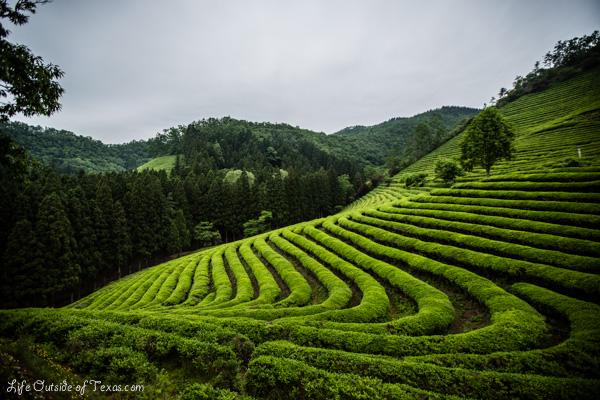 Green Tea Farm,Boseong