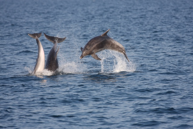 Dolphins in Ischia, Italy