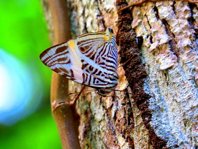 Gorgeous butterflies frequent the jungle.