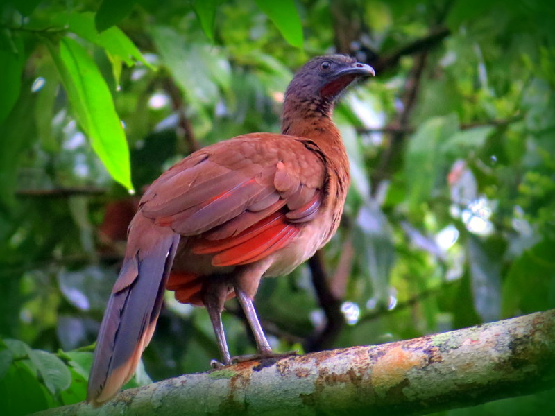 Spotted: Chachalaca.