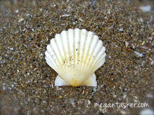 St. James Shell found on the beach in Finisterre.