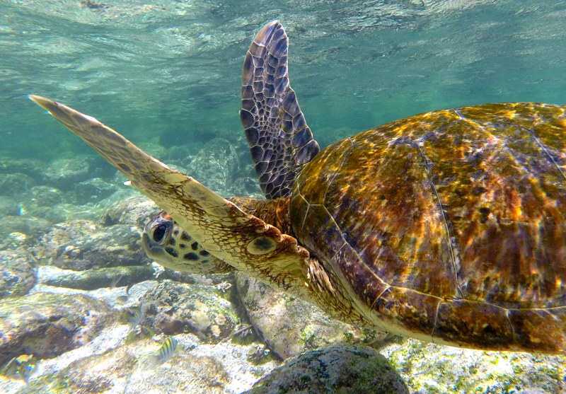 Swimming away at lightning speeds. You would be surprised at how fast a Sea Tortoise is!