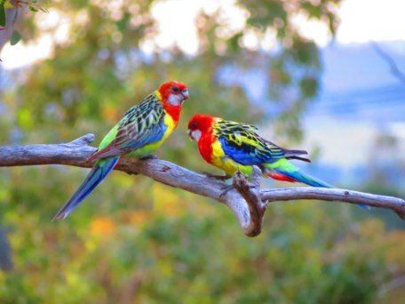 Australian birds are the most beautiful in the world