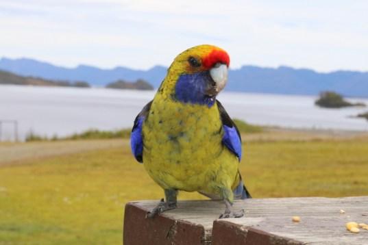 Tasmania's Green Rosella