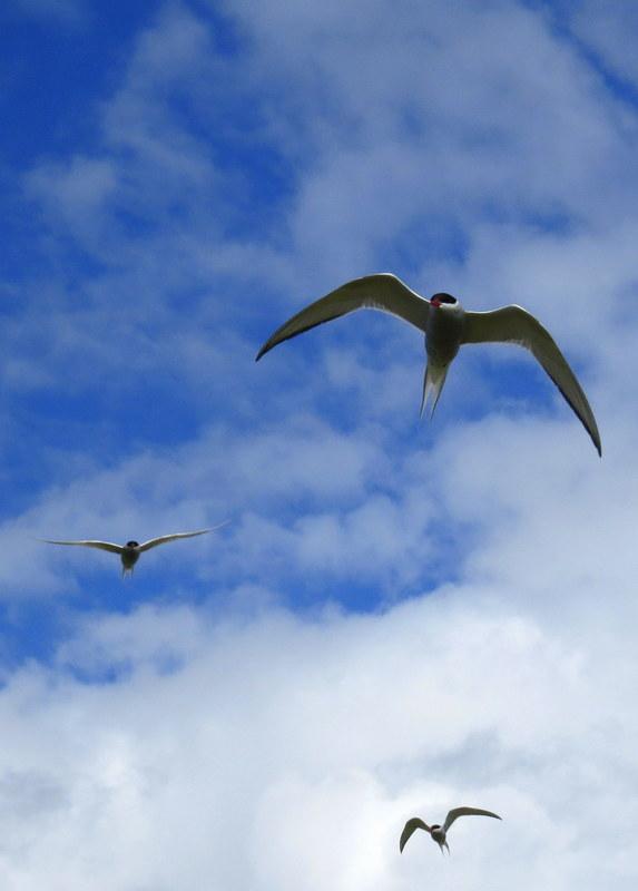 Iceland Seabirds