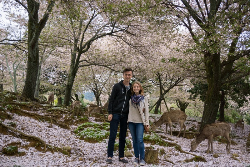 Hanging with wild deer and cherry blossoms in Nara, Japan.
