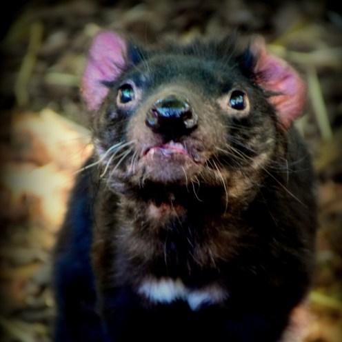 Tasmanian Devil at the National Zoo & Aquarium Australia
