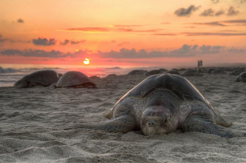 Sunset sea turtle