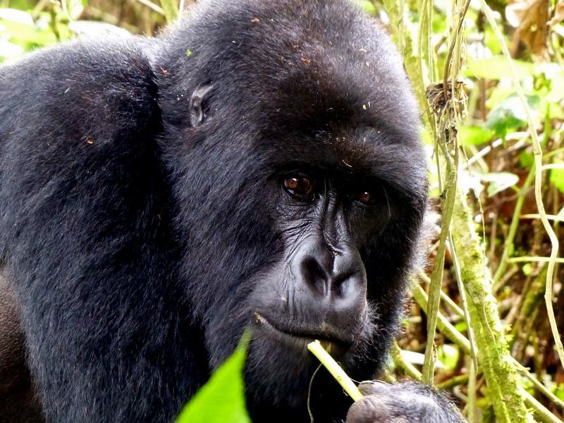 Parc National des Volcans Rwanda Gorilla