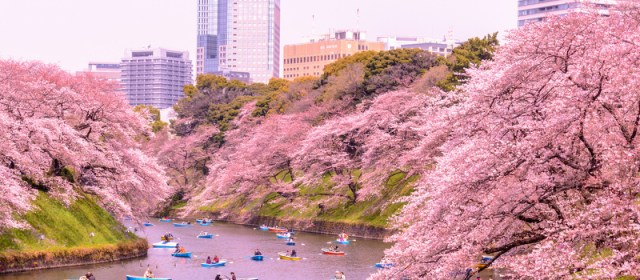 How to Plan a Cherry Blossoms Trip to Japan