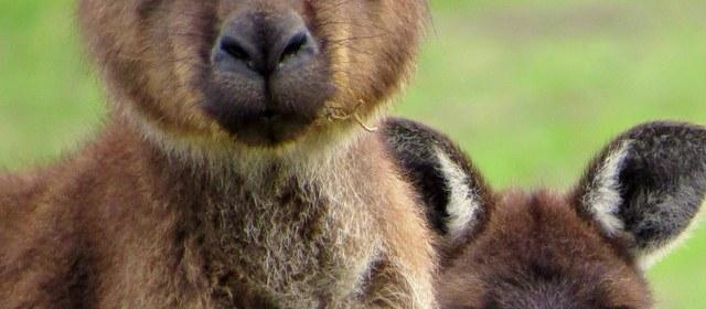 Discover the Wildlife of Kangaroo Island: Australia's Own Galapagos