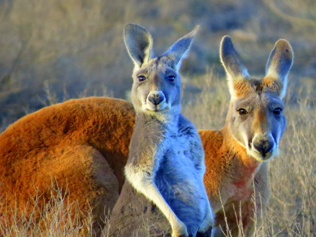 Red and Grey Kangaroos