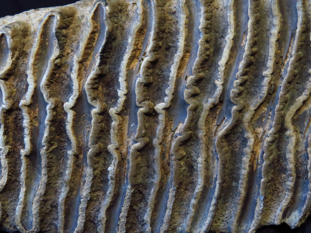 Mammoth Teeth Peace River 2 (8)