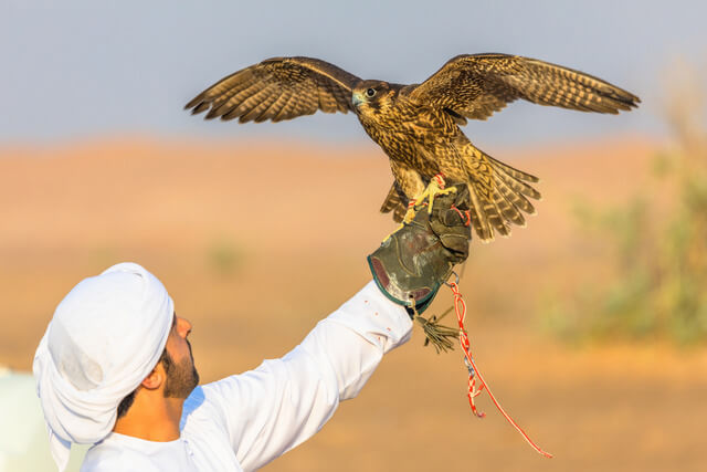 Falcon training in the desert in the UAE