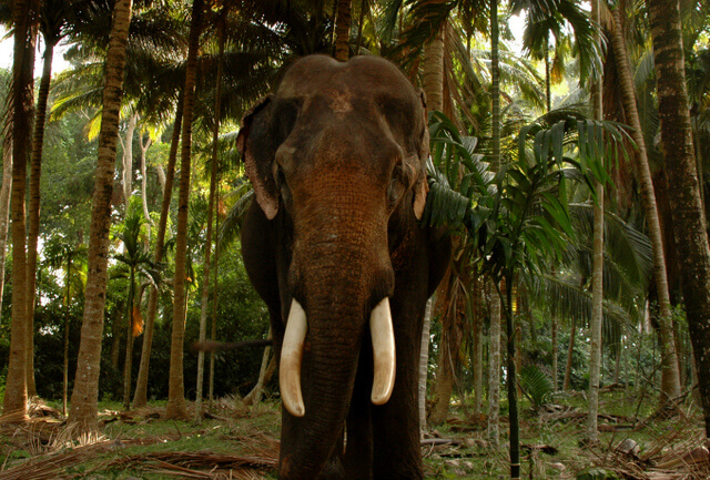 Havelock Elephant