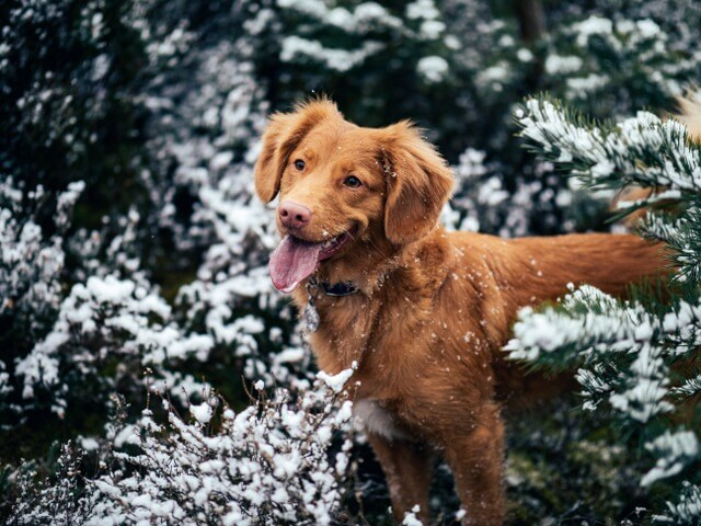 Dog snow RF