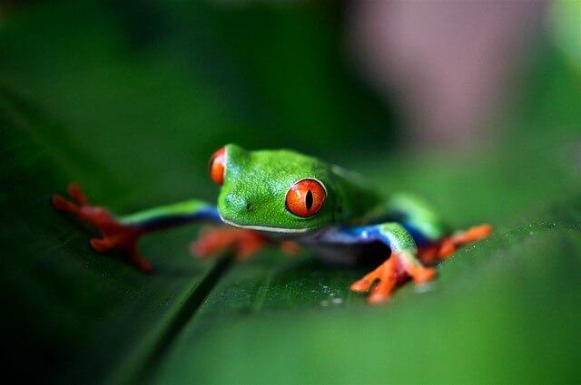 Poison dart frog RF