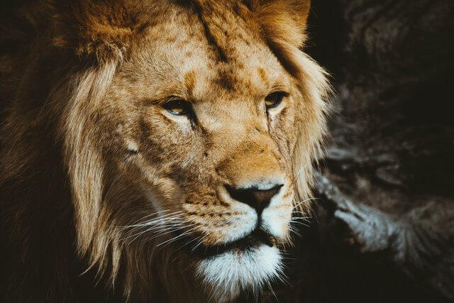 Lion RF