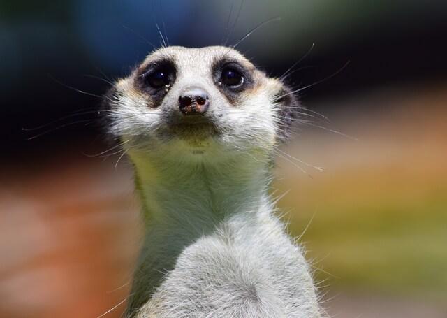 Adelaide Zoo Meerkat
