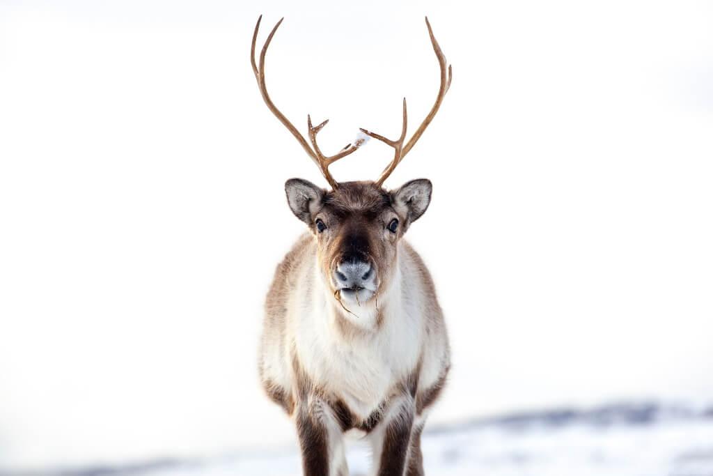 Reindeer RF