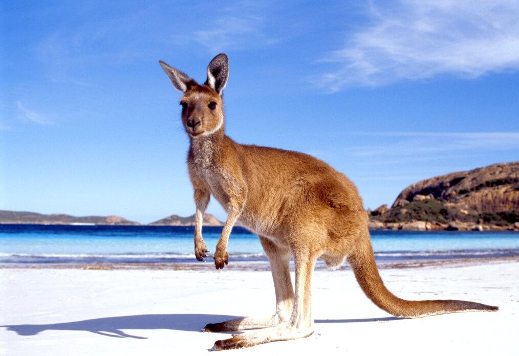 Kangaroo beach Australia RF