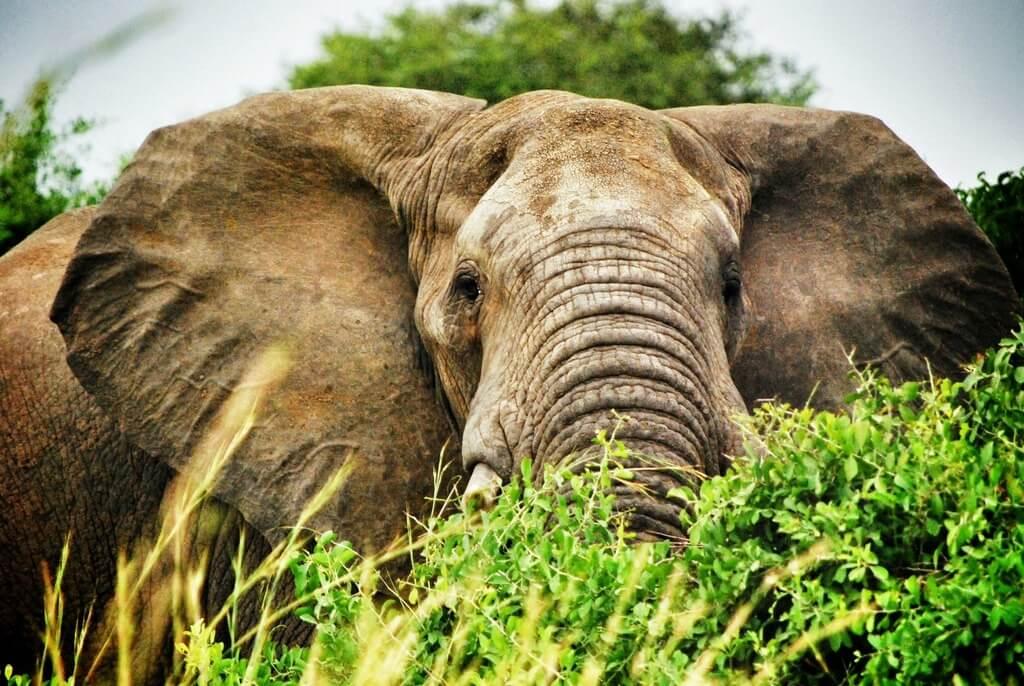 Uganda Elephant Safari Africa RF
