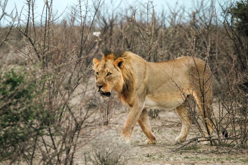 Etosha National Park Lion