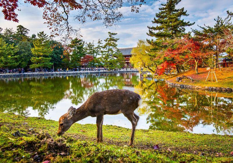 Nara City Japan Deer RF